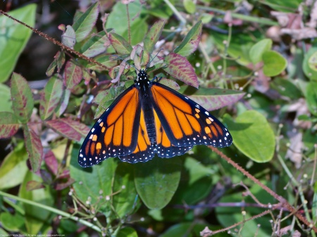 A Monarch butterfly (Danaus plexippus) spotted at Occoquan Bay National Wildlife Refuge, Fairfax County, Virginia USA. This individual is a male.