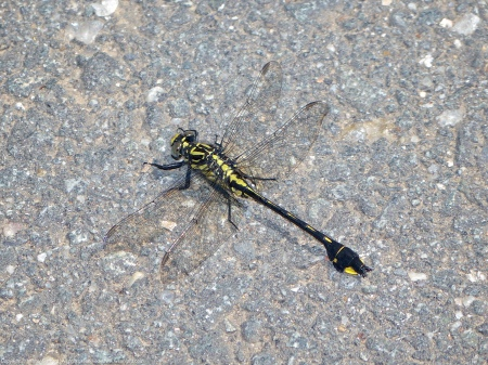 A Cobra Clubtail dragonfly (Gomphurus vastus) spotted at Riverbend Park, Fairfax County, Virginia USA. This individual is a male with a slightly crimped right hind wing.