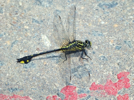A Cobra Clubtail dragonfly (Gomphurus vastus) spotted at Riverbend Park, Fairfax County, Virginia USA. This individual is a male.