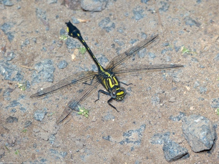 A Cobra Clubtail dragonfly (Gomphurus vastus) spotted at Riverbend Park, Fairfax County, Virginia USA. This individual is a male; its left front leg is missing. Two dark face bars are field markers that can be used to differentiate Cobra Clubtail from other similar looking species of clubtails.