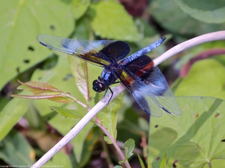 A Widow Skimmer dragonfly (Libellula luctuosa) spotted along the Potomac River at Riverbend Park, Fairfax County, Virginia USA. This individual is a male.