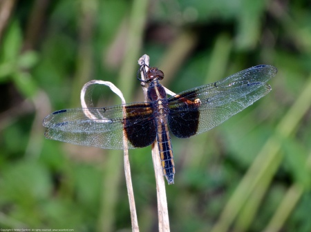 A Widow Skimmer dragonfly (Libellula luctuosa) spotted along the Potomac River at Riverbend Park, Fairfax County, Virginia USA. This individual is a female.