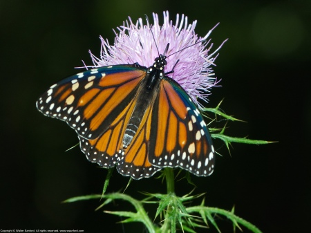 A Monarch butterfly (Danaus plexippus) spotted near a vernal pool at Huntley Meadows Park, Fairfax County, Virginia USA.
