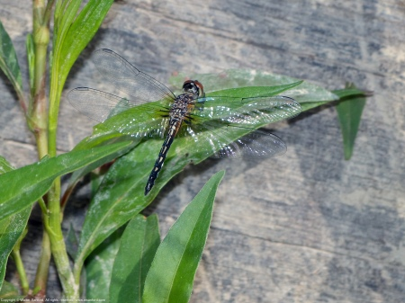 A Blue Dasher dragonfly (Pachydiplax longipennis) spotted at Huntley Meadows Park, Fairfax County, Virginia USA. This individual is a teneral male.