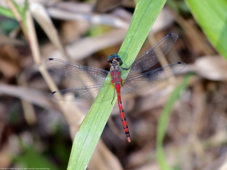 A Blue-faced Meadowhawk dragonfly (Sympetrum ambiguum) spotted at Huntley Meadows Park, Fairfax County, Virginia USA. This individual is a male with a slightly malformed abdomen.