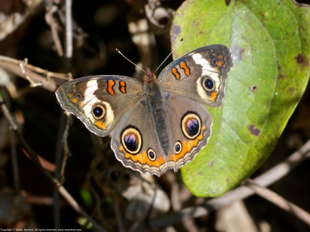 A (Common) Buckeye butterfly (Junonia coenia) spotted at Occoquan Bay National Wildlife Refuge, Prince William County, Virginia USA.