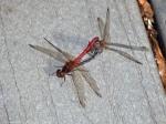 Autumn Meadowhawk dragonflies (mating pair, inwheel)